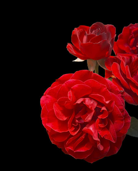Black Background Flower Flowering Plant Fragility Red Rosé Rose - Flower Vulnerability