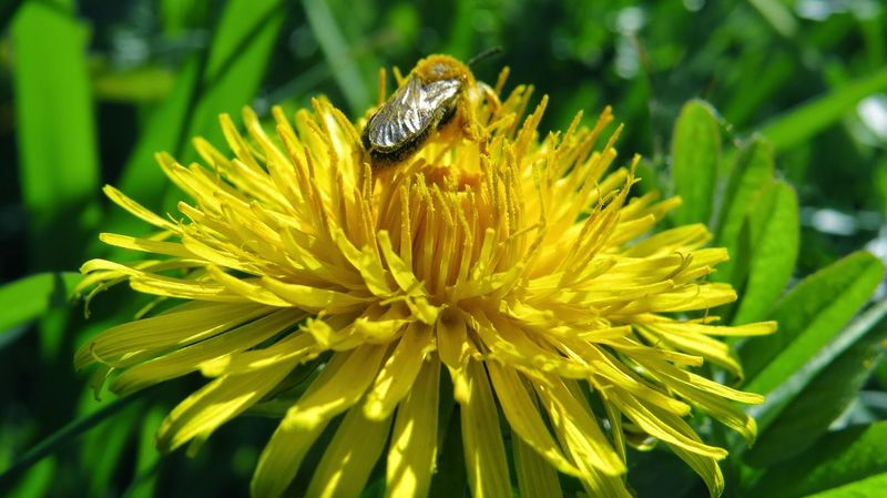Animal Themes Animal Wildlife Animals In The Wild Beauty In Nature Bee Bee At Work Close-up Day Flower Flower Head Fragility Freshness Growth Insect Nature No People One Animal Outdoors Petal Plant Pollination Yellow