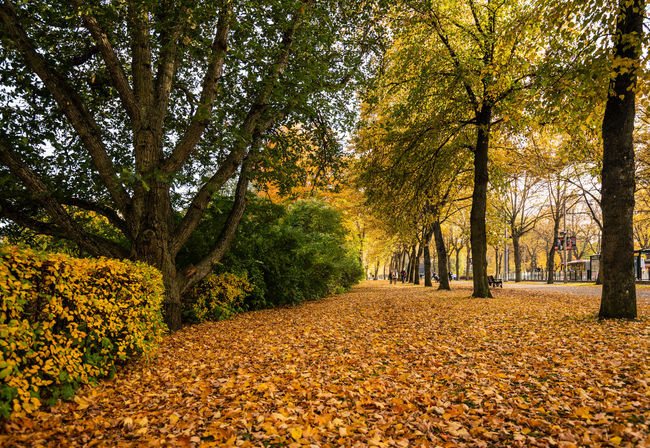 Nature Day Outdoors Beauty In Nature Autumn Autumn colors Fall Season  Fallen Leaves Tree Plant Change Leaf Tranquility Scenics - Nature Land Falling Orange Color Growth Tranquil Scene Yellow Park Footpath Leaves Autumn Collection