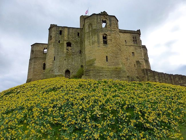 WarkworthCastle Ancient Ancient Civilization Architecture Beauty In Nature Building Exterior Built Structure Castle Cloud - Sky Daffodils Day Flower Fort Freshness History Low Angle View Nature No People Outdoors Sky The Past Travel Destinations Yellow