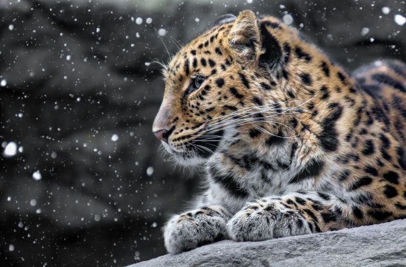 Leopar Animal