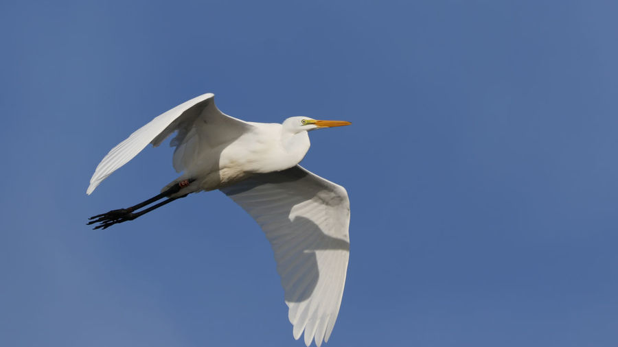 Low Angle View Of Egret Flying Against Clear Blue Sky