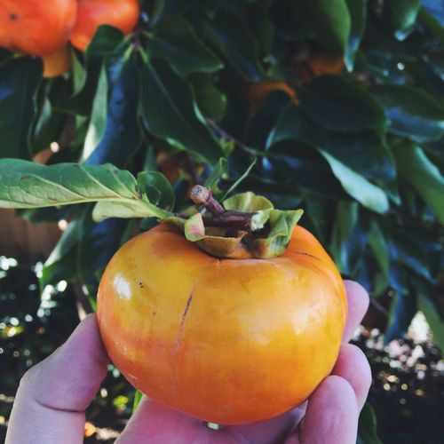 Cropped image of hand holding persimmon