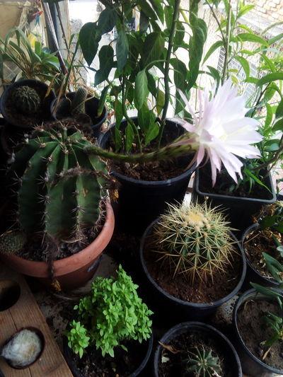 cactus has abig