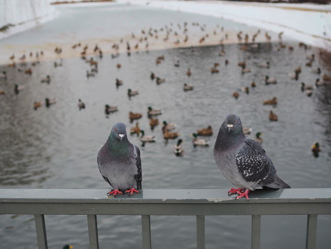 animal, background, beautiful, beauty, bird, birds, blurry background, closeup, cold, colorful, ducks, ducks in a row, feather, forecast, gray, hungry, lake, nature, outdoor, park, pigeon, pigeons, selective focus, slective focus, snowy day, surface, view, water, white, wild, wildlife, wings, winter Bird Animal Themes Animal Group Of Animals Vertebrate Animal Wildlife Animals In The Wild Water Railing Sea Perching Focus On Foreground Nature Day Pigeon Large Group Of Animals No People Outdoors Beauty In Nature Seagull Flock Of Birds