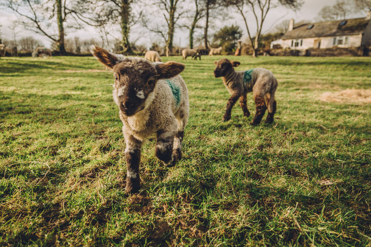 Lambs Moving On Grassy Field
