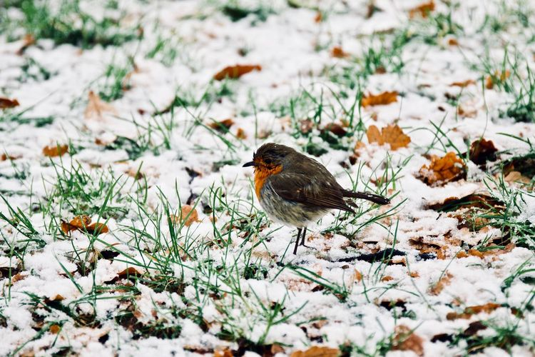 Robin redbreast perching on icy grass Bird Photography Birds Of EyeEm  Ice London Snowfall 2017 Nature Nature Photography Snow ❄ Wildlife & Nature Wildlife Photography Winter Wintertime Animal Wildlife Animals In The Wild Bird Birds_collection Cold Cold Temperature Nature_collection Naturelovers Perching Robin Robin Redbreast Snow Wild Wildlife One Animal Animal Themes Field Outdoors Beauty In Nature