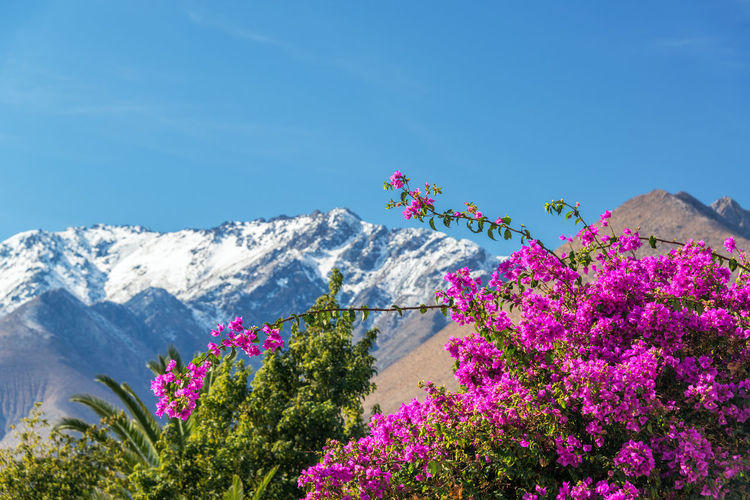 Scenic view of purple bougainvillea flowers against andes mountains