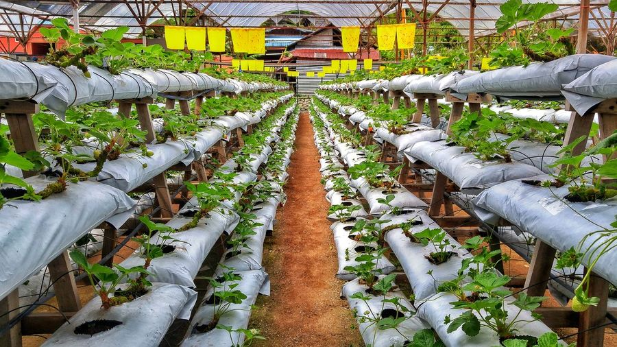 Strawberry nursery Vanishing Point Plant Nursery Strawberry Cameron  Malaysia Agriculture Greenhouse Plant Nursery Men High Angle View Plant Cultivated Land Farmland Plantation Farm Vineyard Repetition Blooming Growing Agricultural Field
