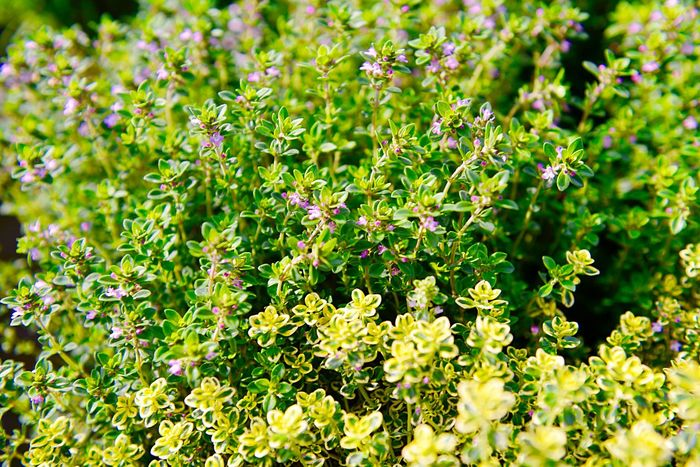 Thymus Vulgaris Thyme Herbs Healthy Food Horticulture Gardening Market Potted Plant Plant Flowering Plant Freshness Flower Beauty In Nature Green Color Growth Nature No People Day Full Frame Sunlight Outdoors Backgrounds Leaf Plant Part