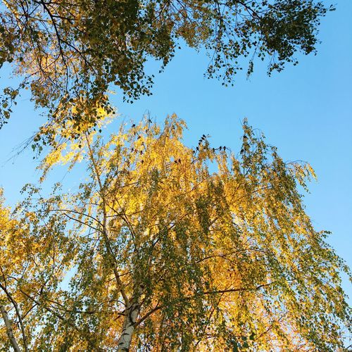 Clear Sky Tree Birds Low Angle View Autumn Nature No People