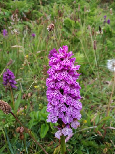 Breakwater Country Park Wildlife & Nature Pink Flower 🌸 Wild Pink Orchid Nature_collection No People Naturelovers Nature Wales❤ Wales UK Plant Pink Color Flower Collection Flower Head Flower Beautiful Nature Wildflower Protectedspecies Nature Photography
