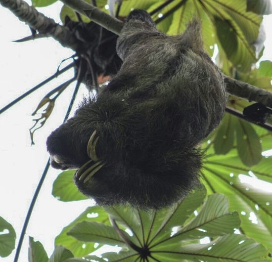 Perezozo Wildlife Canal De Panama  Taking Photos Wildlife & Nature Vida Salvaje