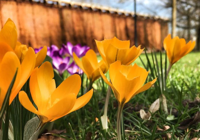 Spring is there Flower Fragility Flower Head Freshness Beauty In Nature Nature Close-up Focus On Foreground Blooming Plant No People Outdoors Crocus Spring Springtime Bad Sassendorf Germany Graduation House Paint The Town Yellow