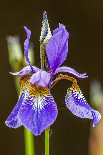 Blau Blühende Pflanzen Blumen Flower Iridae Iris Versicolor Lilien Nature Schwertlilie