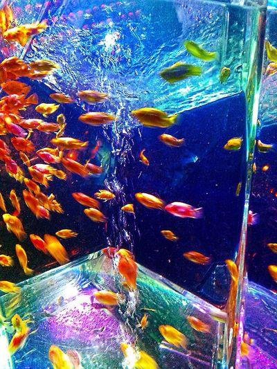 Art Aquarium Fukuoka Tadaa Aquarium Goldfish
