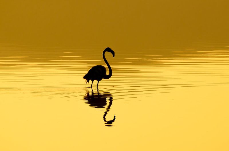 Animal Themes Animal Sunset Water Reflection Animal Wildlife Vertebrate Bird Animals In The Wild One Animal Sky Orange Color Silhouette Beauty In Nature Lake Nature Tranquility No People Outdoors