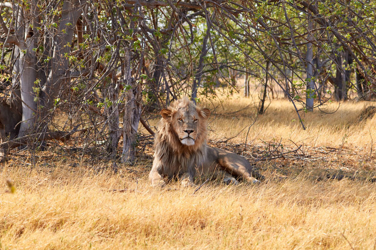 Lion Sitting On Field In Forest