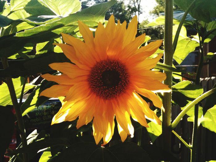 Sunflower sun flower happy yellow