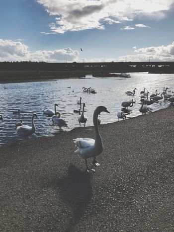 Animals In The Wild Water Bird Animal Themes Animal Wildlife Nature Beauty In Nature Wildlife Large Group Of Animals Waterfront Water Bird Sky Cloud - Sky Lake