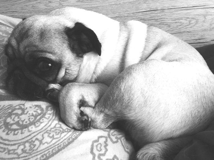Dog Pets One Animal Pug First Eyeem Photo