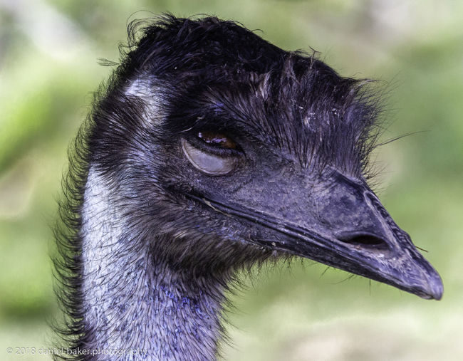 One Animal Bird Animal Close-up Focus On Foreground Beak Animal Head  Ostrich Emu Nature Outdoors