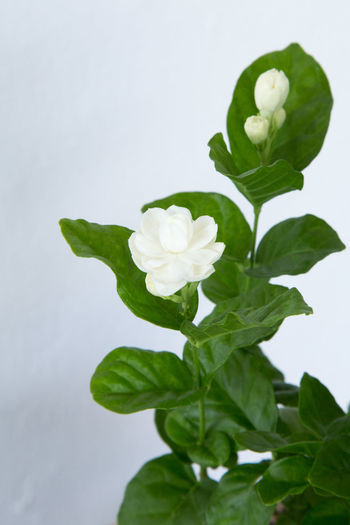 Jasmine plant on withe background Jasmine Beauty In Nature Close-up Day Flower Flower Head Fragility Freshness Green Color Growth Jasmine Flower Leaf Nature No People Outdoors Petal Plant Studio Shot White Background