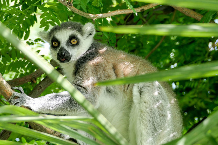 Lemur Tree