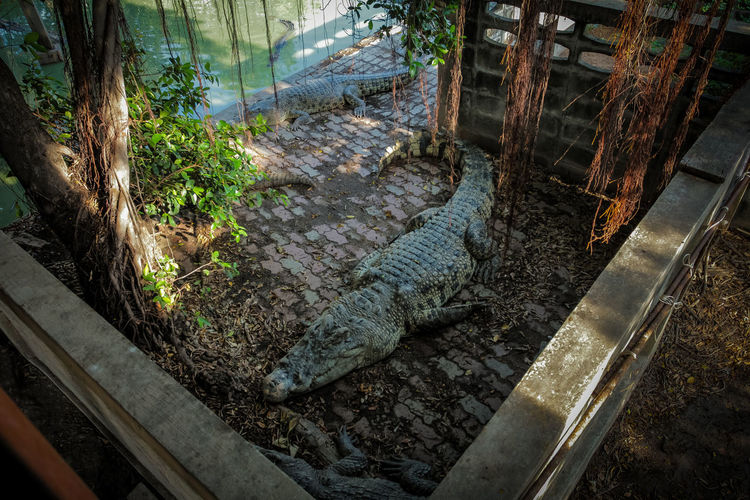 Crocodile Crocodile Skin Crocodile Crocodile Farm
