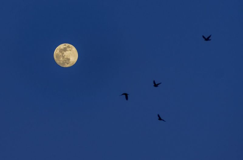 Chasing Crows for a few days. The timing was right with a full moon and the Crows shifting towards my location. Crow Birds Birds Of EyeEm  Birds In Flight Kevingiambertone Berkshires Beautiful Nature Colors Photography For You Colorful Crow Bird Natgeotravel Fineartphotography Artphotography Fineart Moon Surface Full Moon Bird Of Prey Space Moonlight My Best Photo