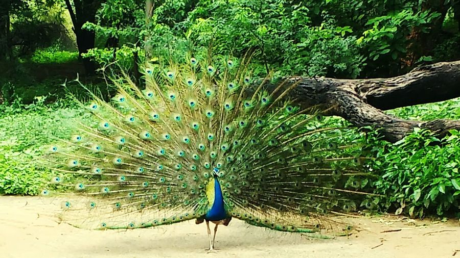 Peacock Animal Themes Bird One Animal Animals In The Wild Fanned Out Male Animal Feather  Wildlife Natural Pattern Forest Beauty In Nature Majestic Nature Spreading Beauty Animal Behavior Tranquil Scene Zoology Tranquility King Of Birds Most Beautiful Bird