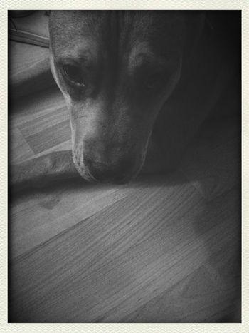 Dog pitbull pitbullmix pet petpics animals love