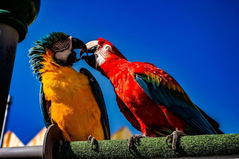 Low angle view of macaws against clear blue sky