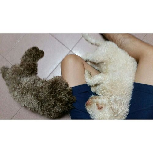 My two sheepy like dogs falling asleep🐑💤 Dog