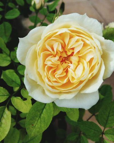 A Stunning Close-up of a Creamy White Rose - Flower . Featuring Flower Petal Flower Head Plant Nature Beauty In Nature Fragility Blossom Growth Freshness Springtime No People Uncultivated Leaf Beauty Day Outdoors Rose🌹 Blooming Background