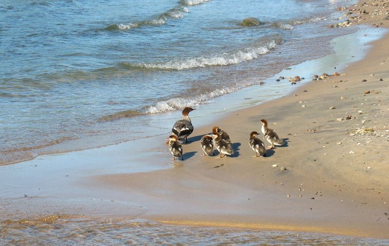 Duckling Family [SP-DB] ~ Animal Themes Animals In The Wild Beach Beachphotography Beauty In Nature Bird Canada Day Duck Ducklings Family Live For The Story Mammal Nature No People Erieau Outdoors Place Of Heart Sand Sea The Great Outdoors - 2017 EyeEm Awards Water Wave Let's Go. Together. Ontario