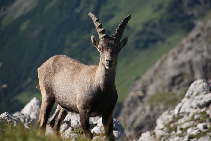 Allgäuer Animal Themes Animal Wildlife Animals In The Wild Bayrische Alpen Beauty In Nature Capricorn Close Up Day Nature Nature Photography No People One Animal Outdoors Standing Steinbock Wildlife Photography