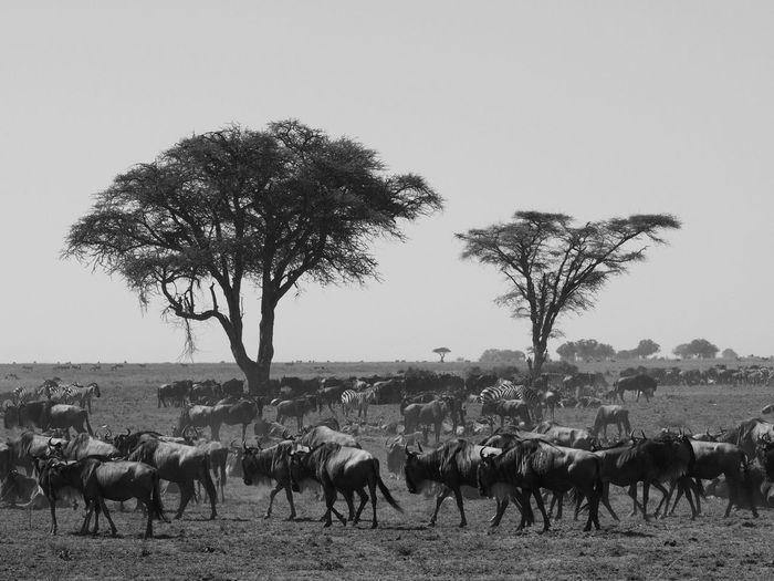 Serengeti Wildebeest Africa Eye Em Around The World Eye Em Travel Mammal Livestock Nature Land Animals In The Wild Landscape Large Group Of Animals Clear Sky My Best Travel Photo My Best Travel Photo