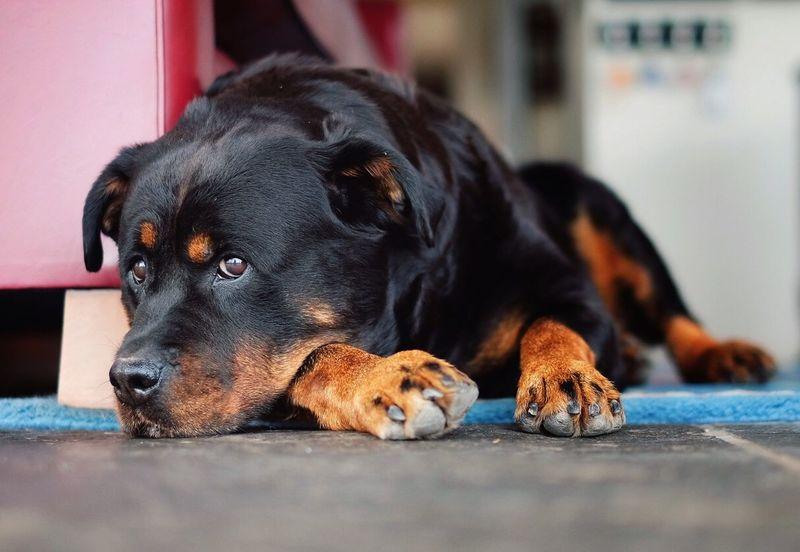 Jäger the Rottweiler Dogs Dog Love Dogslife
