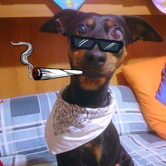 Pincher Snoopdogg
