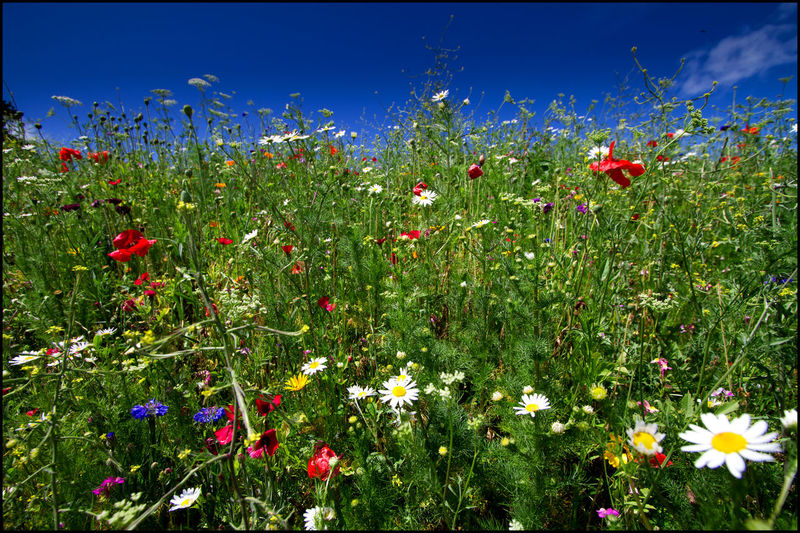 Summer field in Padstow Beauty In Nature Blue Sky Daisies Flowers Grass Poppies  Suumer  Vibrant Colors Wild Flowers And Grasses
