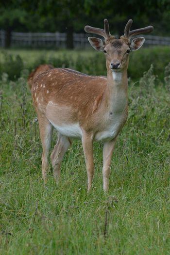 Oh deer Deer Stag Antler Fallowdeer Wildlife Nature Nature_collection EyeEm Nature Lover EyeEm Animal Lover Animal Photography