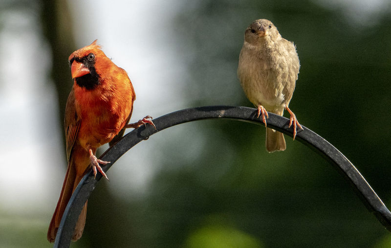 Neighbors Bird Animal Themes Animal Perching Animal Wildlife Group Of Animals Animals In The Wild Two Animals No People Outdoors Close-up Togetherness Cardinal - Bird Nature Plant Neighbors Ignoring Each Other Sparrow
