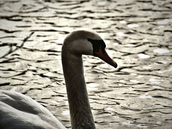 Råstasjön 2017 Mars Niklas Sweden Solna Showcase Mars 2017 One Animal Bird Animal Themes Animals In The Wild Close-up Focus On Foreground Animal Neck Nature Water Lake Water Bird Swan Mute Swan The Week On EyeEm Perspectives On Nature Shades Of Winter