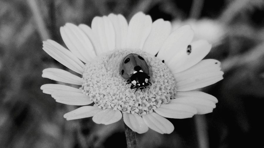 Beauty In Nature Close-up Flower Flower Head Flowering Plant Focus On Foreground Fragility Freshness Growth Inflorescence Insect Nature No People Outdoors Pollination Petal Plant Selective Focus Vulnerability  Yellow Color Daisy Yellow Daisy Ladybug Blackandwhite Black & White Monochrome