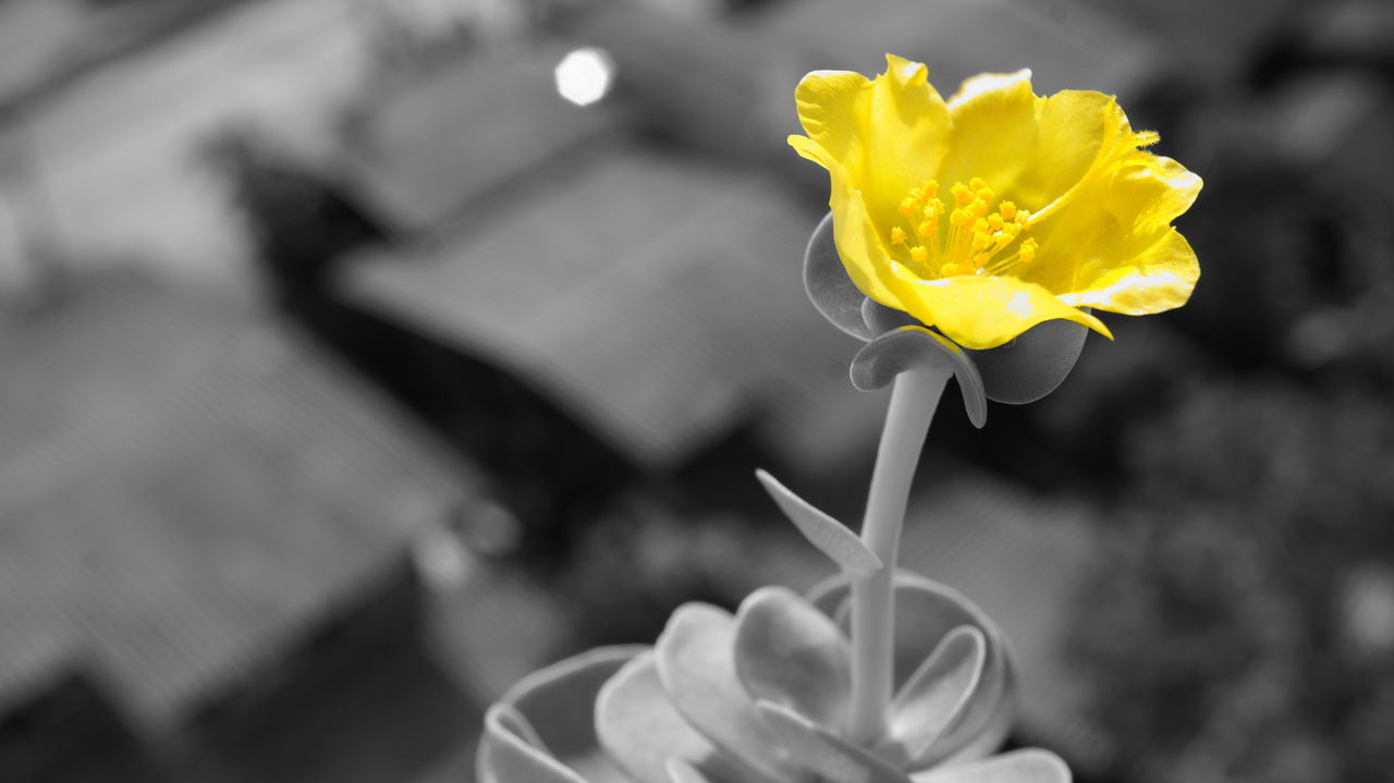 flower, petal, yellow, fragility, focus on foreground, freshness, flower head, close-up, outdoors, human hand, nature, plant, beauty in nature, day, growth, human body part, holding, blooming, one person