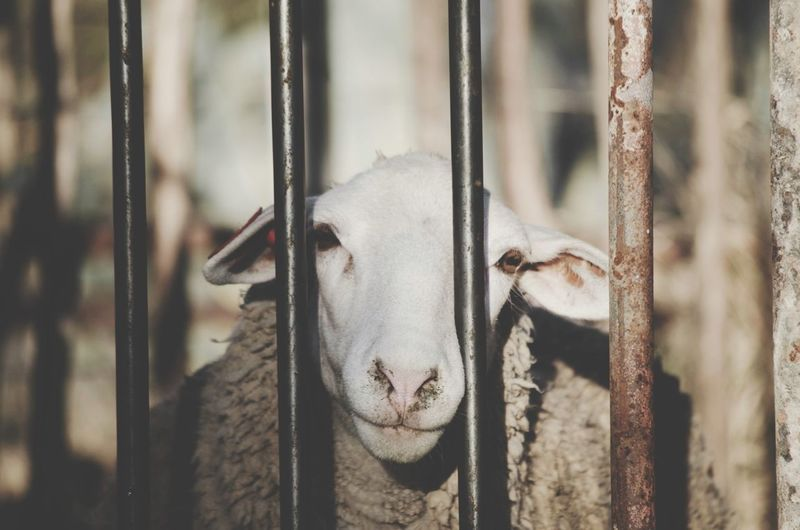 Let me out! Sheep Taking Photos EyeEm Best Shots Hello World