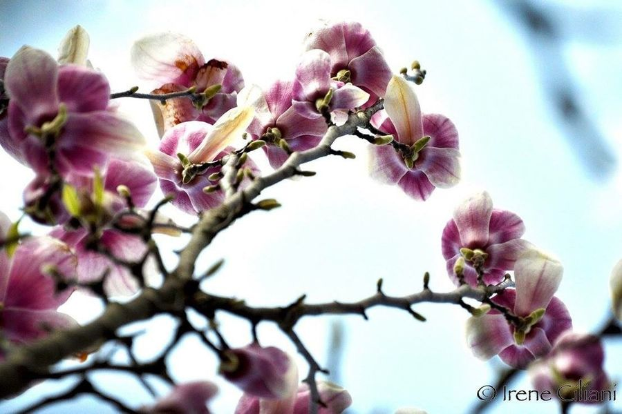Flower Pink Color Beauty In Nature Petal Tree Passione_fotografica Passionforphotography Passionefotografia Passionefotografa Passionefoto Nature Flowers Magnolia Fragility Plant Fiori Di Magnolia
