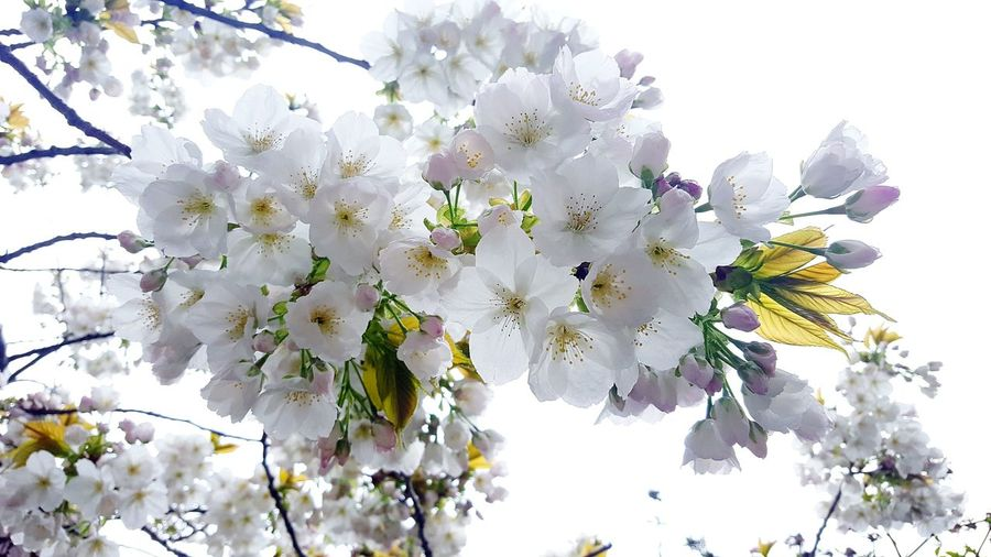 cherry tree Cute Spring Park Contrast White White Flower Innocence White Flowers EyeEm Selects Flower Head Tree Flower Branch Springtime Blossom Petal Botany Sky Close-up Apple Blossom Cherry Tree Flowering Plant In Bloom Plum Blossom Blooming Cherry Blossom Orchard Pollen Inner Power Summer Exploratorium Visual Creativity The Still Life Photographer - 2018 EyeEm Awards