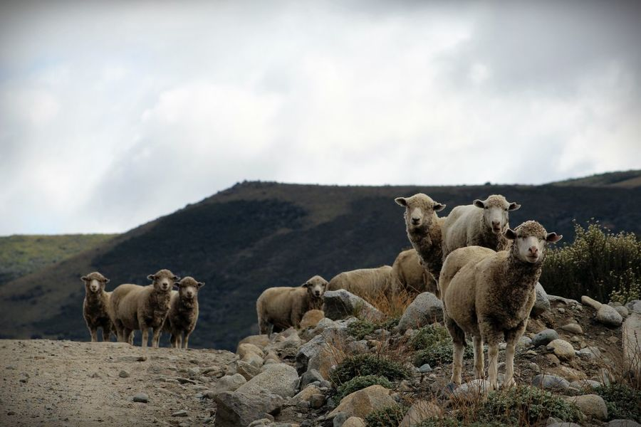 Animal Animal Themes Animales Animals In The Wild Beauty In Nature Cloud - Sky Day Domestic Animals Flock Of Sheep Group Of Animals Herd Landscape Large Group Of Animals Livestock Mammal Mountain Nature No People Outdoors Ovejas Patagonia Sheep Sky Togetherness